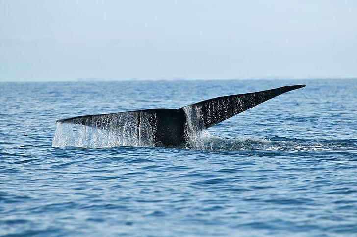balena, vida silvestre, Mar, oceà, mamífer, geperuda, Marina