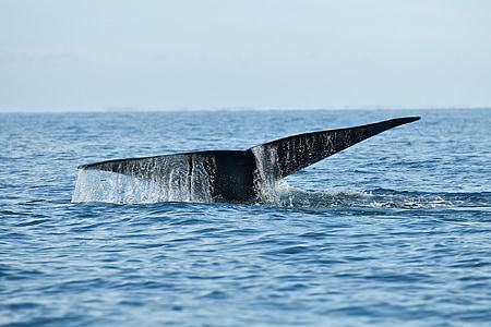 Walvis, dieren in het wild, zee, Oceaan, zoogdier, bultrug, Marine