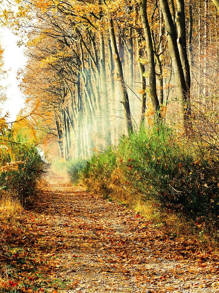 sposób, lasu, mgła, światło, tajemniczy, drzewo, jesień