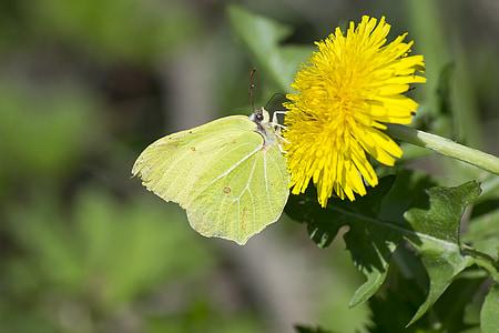 пеперуда, природата, животните, насекоми, цветя природа