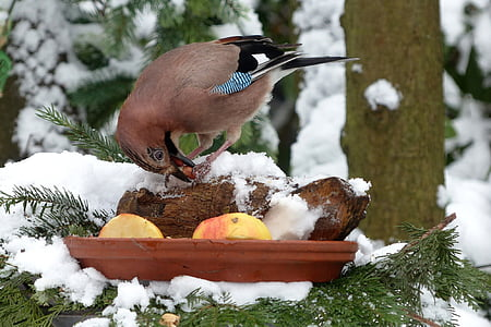 bird, jay, winter, foraging, garden, snow, nature