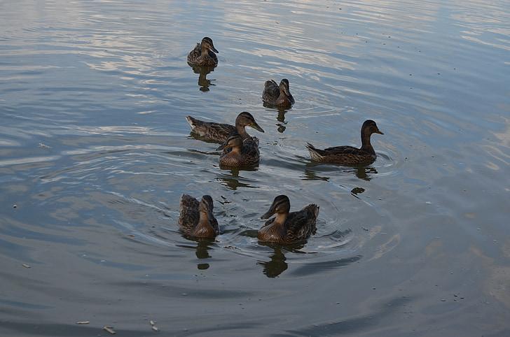 Слипове, птици, езеро, jazero, природата, Арлекин, езерото
