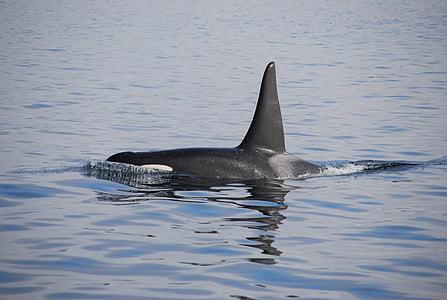 nature, mer, eau, animal, mammifère, orque, bleu