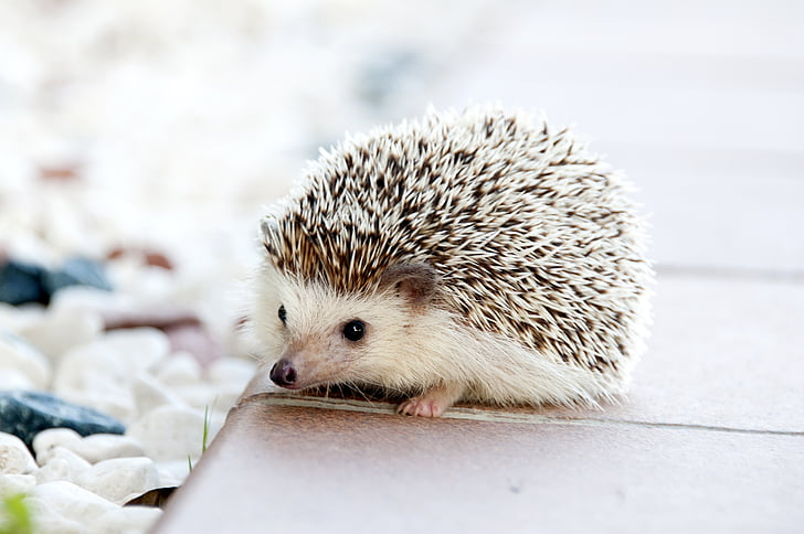 hedgehog, animal, baby, cute, small, pet, mammal