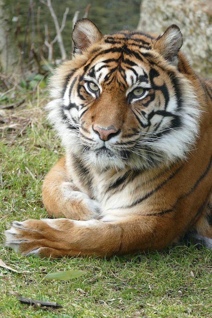 Тигър, Суматра, женски, едно животно, животни в дивата природа, животните теми, ден