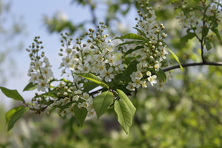 bird cherry, bird-cherry branch, macro photography, bloom, closeup, bird-cherry tree, spring