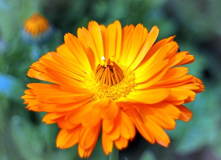 cvet, cvet, ognjič, vrtnarjenje, zdravilna rastlina, kompoziti, poletni cvet