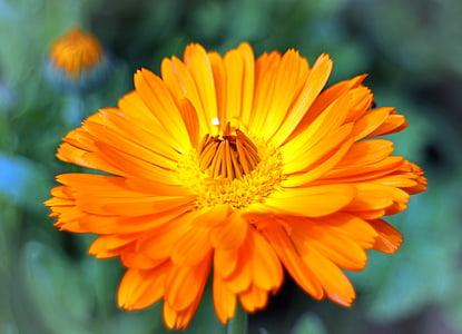 žiedų, žydėti, Medetkų, Sodininkystė, vaistinių augalų, Kompozitai, vasaros gėlių