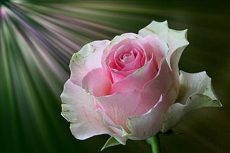 Rosa, floribunda, flor rosa, flor, flor, flors roses, rosa Rosa