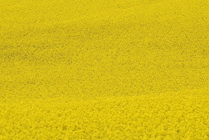 Рапично поле, растителна, семена, флорални, растения, естествени, Блосъм