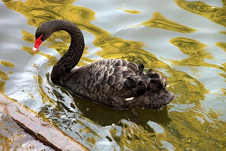 atratus, Черно, лебед, езеро, лебед, плуване, вода