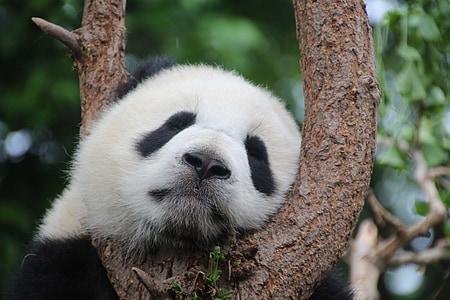 Panda, Panda-Bär, Schlaf, Rest, Entspannen Sie sich, China, Säugetier
