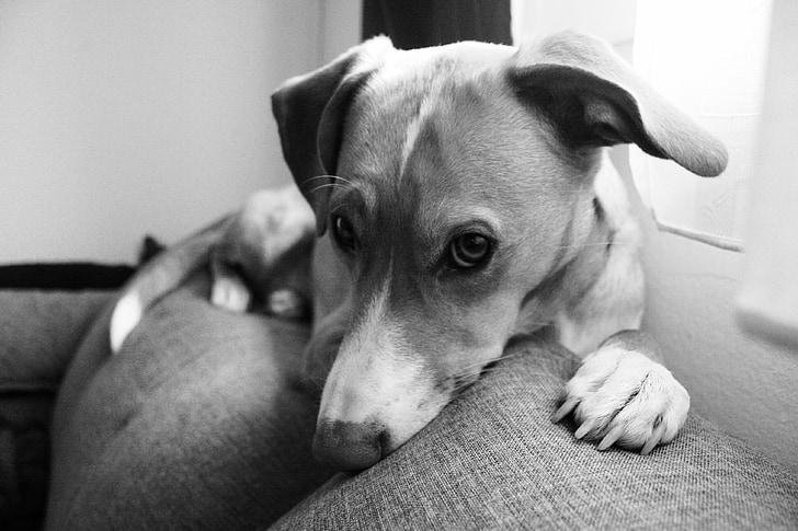 dog, dog life, dog lying on the couch
