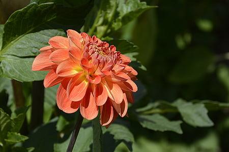 dàlia, flor, flor, flor, jardí de dàlia, finals d'estiu, planta de jardí