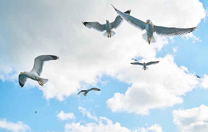 måker, fuglen, fly, elsker natur, natur, skyer, fred