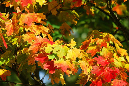 groc, vermell, auró, fulles, tardor, bosc, natura