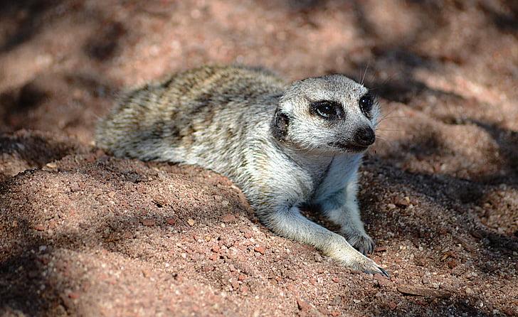 meerkat, animal, zoo, nature, melbourne, melbourne zoo, australia