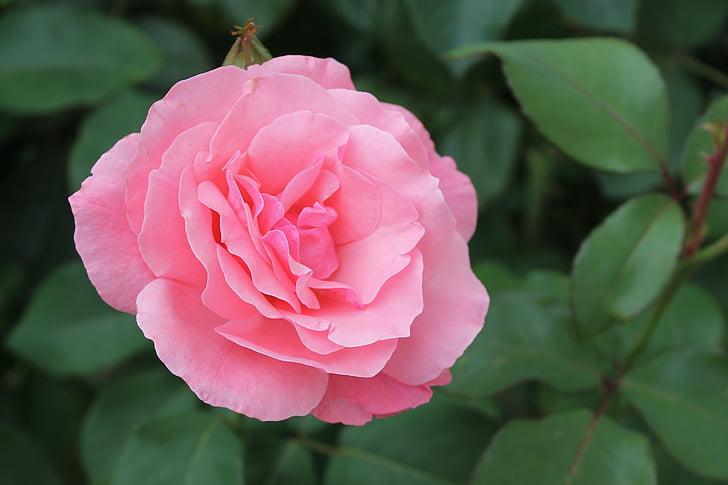Rosa, Rosa, flor, flor rosa, natura, planta, jardí