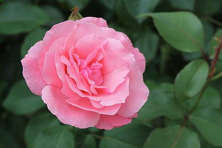 color de rosa, rosa, flor, flor color de rosa, naturaleza, planta, jardín