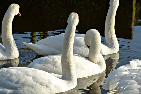 swans, nature, swan, waterfowl, animals, animal, bird