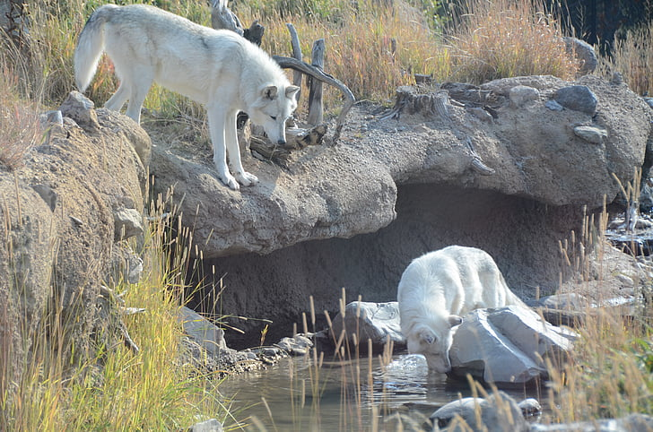 wolves, white wolves, animals, wolf, animal, wyoming, nature