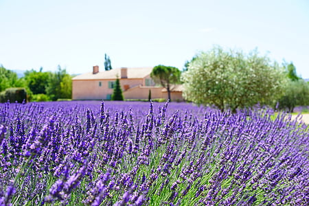 lavendel, ejendom, ejendom, lavendel felt, lavendel blomster, blå, blomster