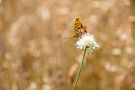 vlinder, natuur, insect, dier, zomer, sluiten, vleugel