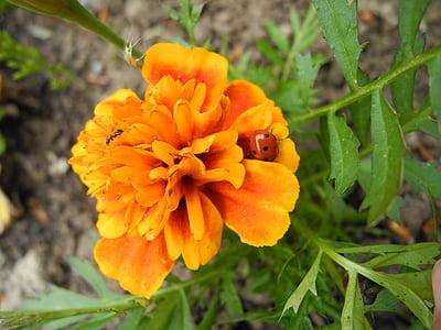 Calèndula, flor, l'estiu, tardor, taronja, sol, formiga