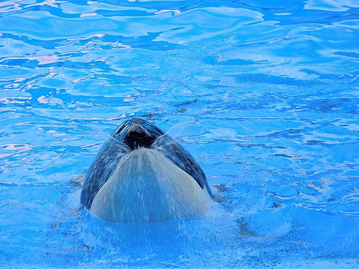 シャチ, シャチ, 動物, 野生, ショー, クジラ