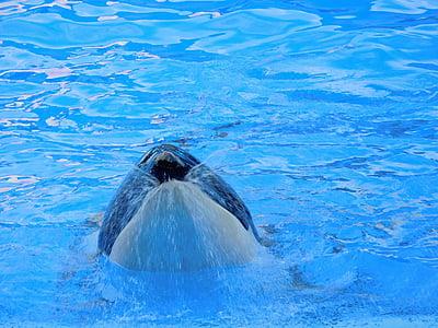 Orca, Вбивця китів, тварини, дикі, Показати, кит