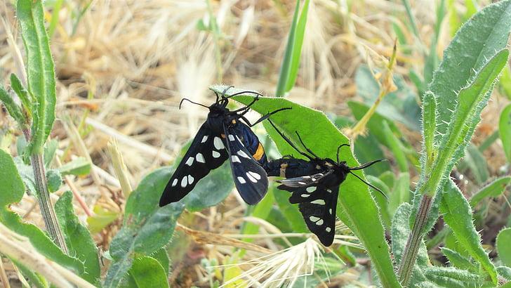 papallona, Maridatge, parell, natura, reproducció
