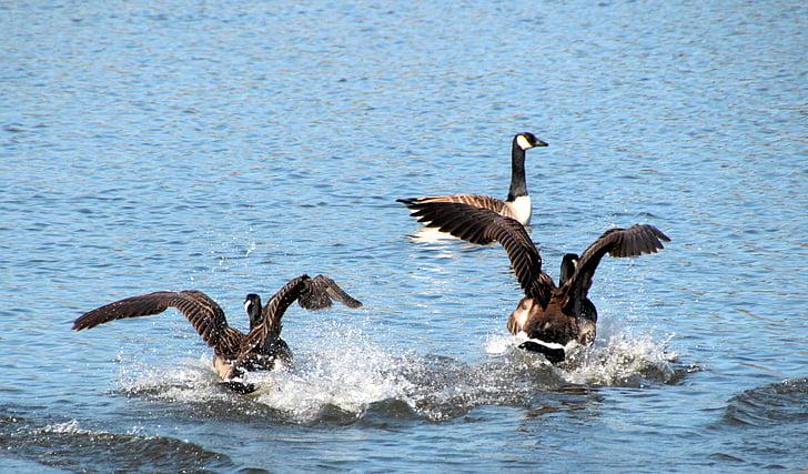 гъски, Канада гъски, Черни гъски canadensis, вода птица, животните, вода, плуване