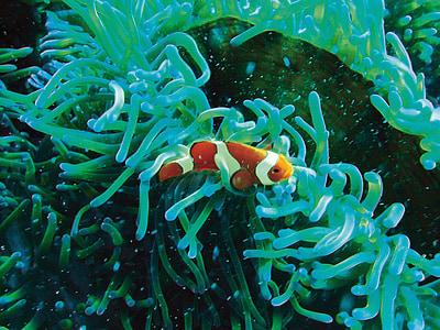Peix pallasso, sota l'aigua, Submarinisme, Coral, turquesa, Nemo, exòtiques