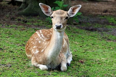 sở thú, Lüneburg heath, Roe deer, động vật, rừng, hươu fallow, Hirsch