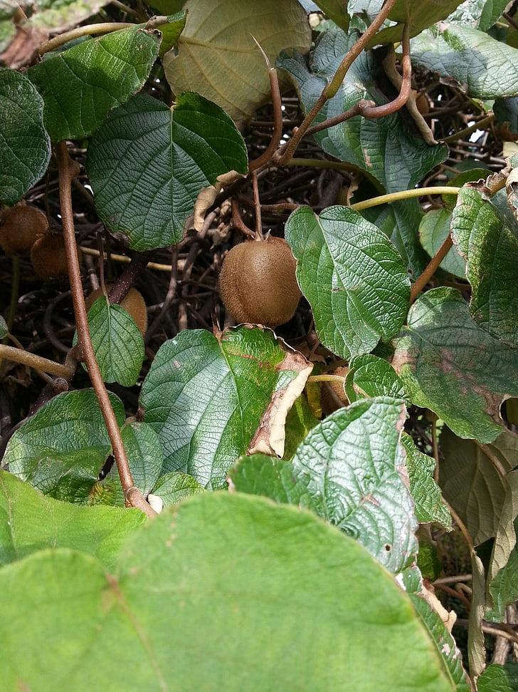 Kiwi, Kiwi træ, frugt