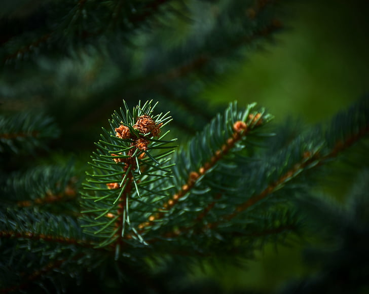 evergreen tree, fir tree, forest, green, pine, green color, nature