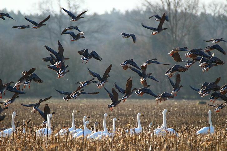 geese, whooper swan, bird, swans, goose, migratory bird, water bird