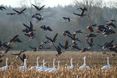 gansos, cisne de whooper, pájaro, cisnes, ganso, aves migratorias, pájaro del agua