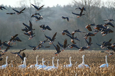 gæs, Sangsvanen, fugl, svaner, gås, trækfugle, vand fugl