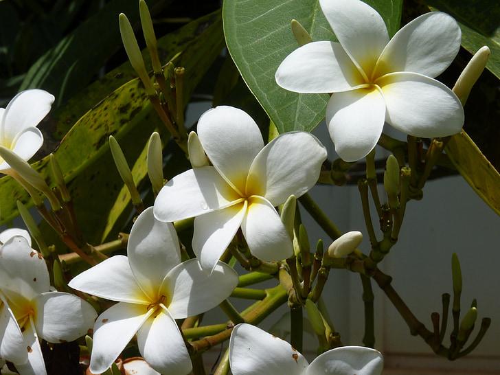червоного жасмину, Травневий букет, Біла квітка, екзотичні, Гавайська