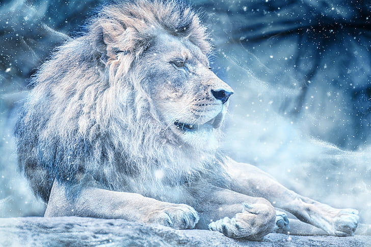 Лъв, сняг, в легнало положение, изкуство, животните, природата, Scrapbooking