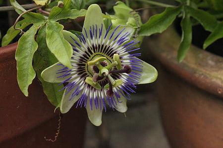 flor de la passió, planta de la passió, Test, close-up, passió, flor, natura