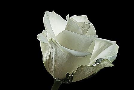 balta roze, slējās, balta, radoši, daba, savvaļas roze, puķe