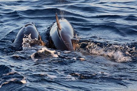 Delfini v parjenje, pljusk vode delfinov, morje, živali, Kit, narave, delfinov