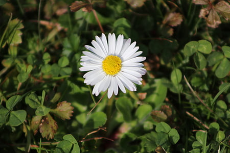 flower, nature, beautiful flower, spring, garden, daisy, plant