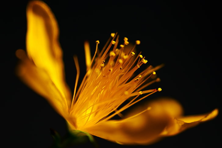macro, flor, natura, groc, flor, flor, planta