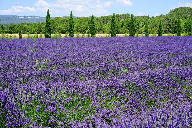 Levanda, levandų laukas, levandų gėlės, kiparisas, Kiparisų avenue, Avenue, mėlyna