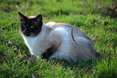 cat, kitten, siam, siamese cat, breed cat, mieze, animal