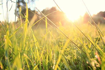 hierba, puesta de sol, verano, naturaleza, Prado, al aire libre, planta