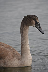 swan, nature, animal, waterfowl